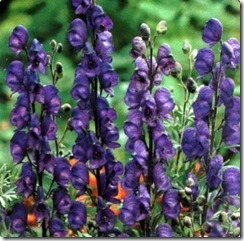 Aconite-Napellus-Flower-8
