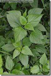 Ageratina-altissima-white-snakeroot-AWPL0604110-105