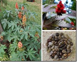castor-plant-bean