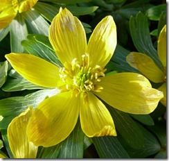 winter-aconite-flower2