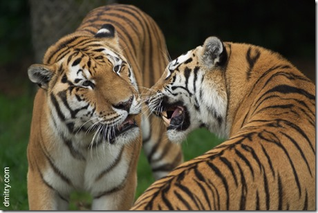 Two_Tigers