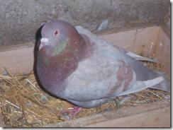 39909_pigeons_006