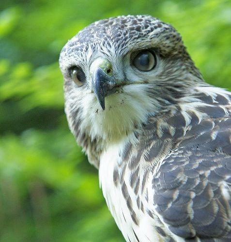 Hawk Totem Symbolism Galaxy Dreams
