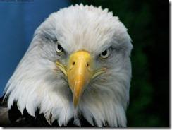 bald_eagle-normal