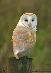 barnowl-perched
