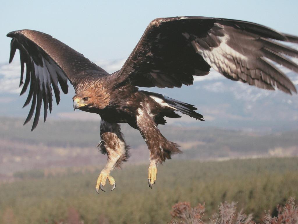 Eagletotem symbolism galaxy dreams beautiful golden eagle in flight golden eagles 29183845 biocorpaavc Choice Image