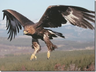 Beautiful-Golden-Eagle-In-Flight-golden-eagles-29183845-1024-768