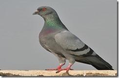 dnews-files-2013-01-Pigeon-660x433-jpg