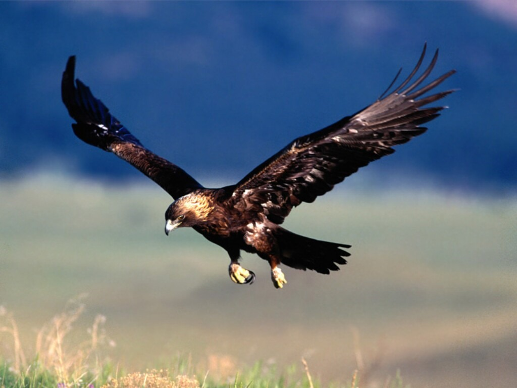 Eagletotem symbolism galaxy dreams eagle40 golden eagle great golden eagle is coming in for a landing cultural eagle symbolism biocorpaavc Choice Image