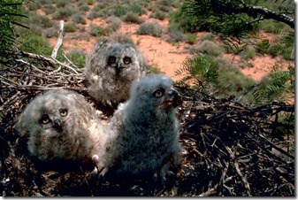 Great_horned_owl_chick_3w