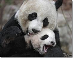 panda-bear-02