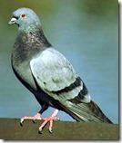 pigeon1-b