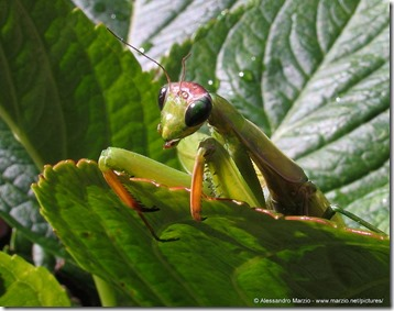 praying_mantis_02