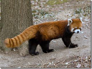 Red Panda - Ailurus fulgens