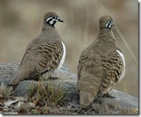 Squatter_Pigeons_Cement_Mills