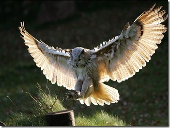 the-great-horned-owl5