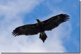 Wedge_tailed_eagle_in_flight03