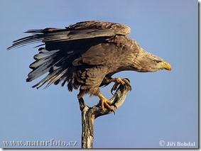 white-tailed-eagle-3029