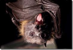 142984-vampire-bats