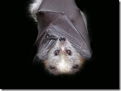 are-bats-really-blind2-400