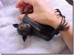 australian-bat2