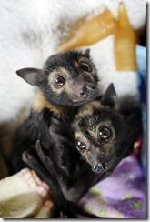 Baby-bats-bats-2740710-800-1191