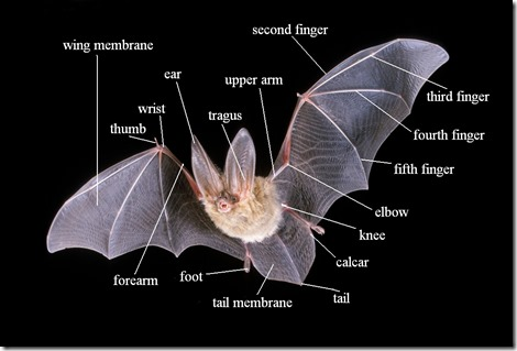 bat-anatomy