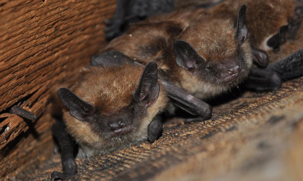 Bats Galaxy Dreams