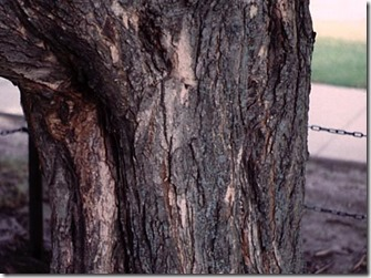 sugar-maple-bark