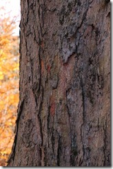 Sugar_Maple_Acer_saccharum_Bark_Vertical_2000px