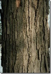sugar_maple_bark-The bark on young trees is dark grey