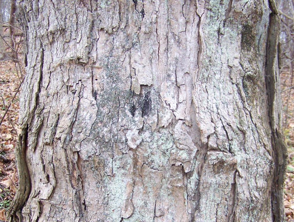 Life Galaxy Dreams - Norway maple bark