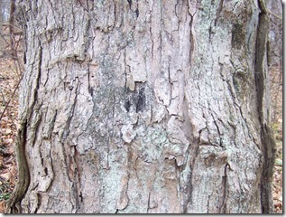 sugarmaple-bark